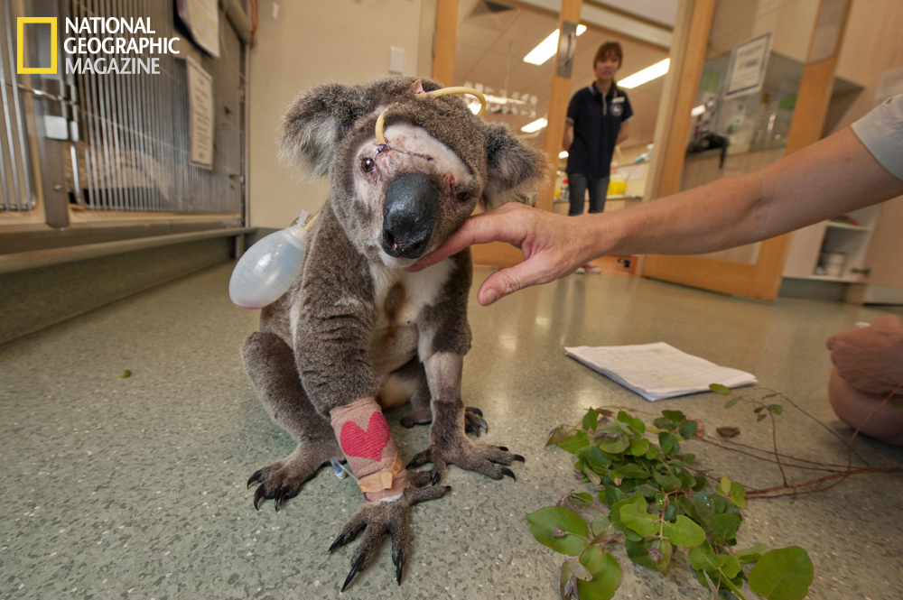 Savaged by a dog, this young male named Bruzer was treated at Australia Zoo Wildlife Hospital. With his facial bones crushed, Bruzer succumbed to infection and died.