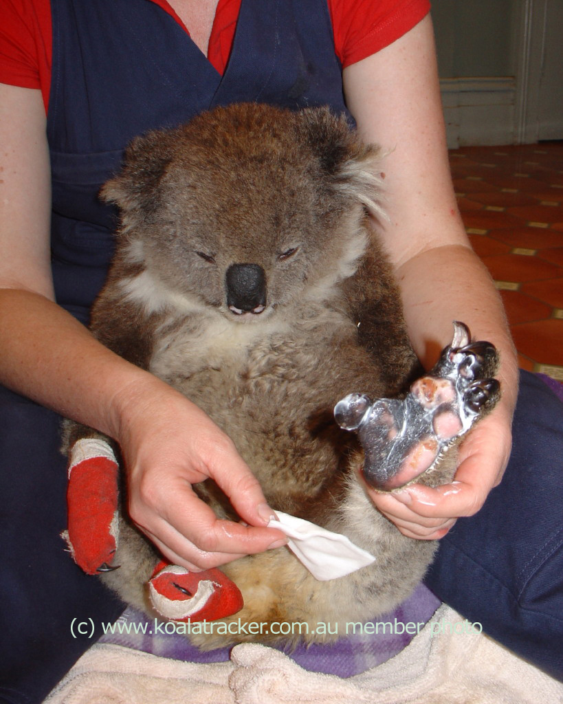 Rescued koala watches on as her bandages are changed.