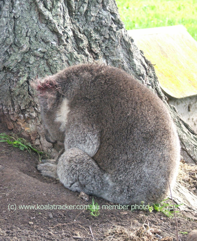 Attacked by a dog, this koala sits listless in shock and pain.