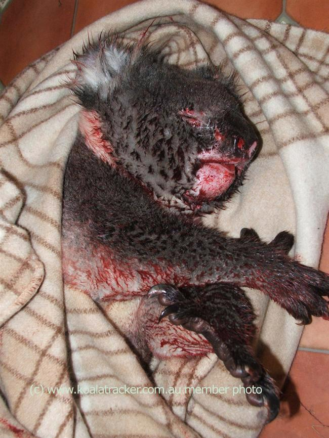 The worst of his injuries hidden under the blanket, this koala was killed by car.