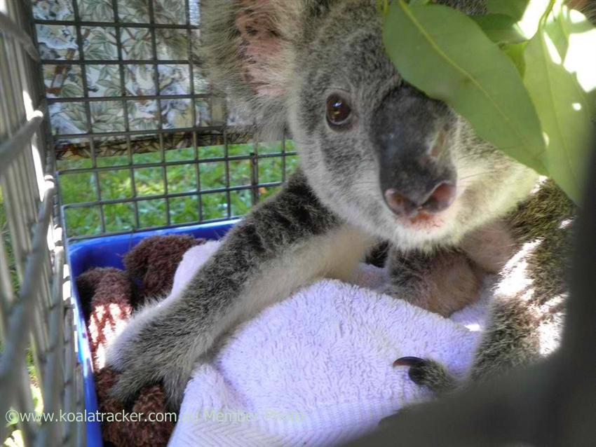 A rare success story. One lucky koala is about to be released back to the wild.