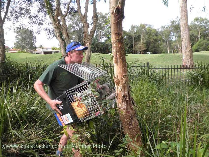 Ray and Murray Chambers release a rehabilitated koala to the Tewantin golf course.