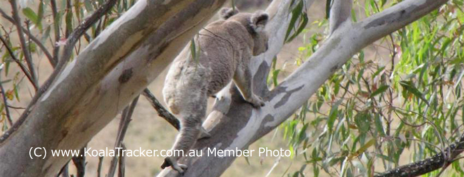 Koalatracker.com.au member photos of koalas in the wild previously known as koaladiaries.com.au