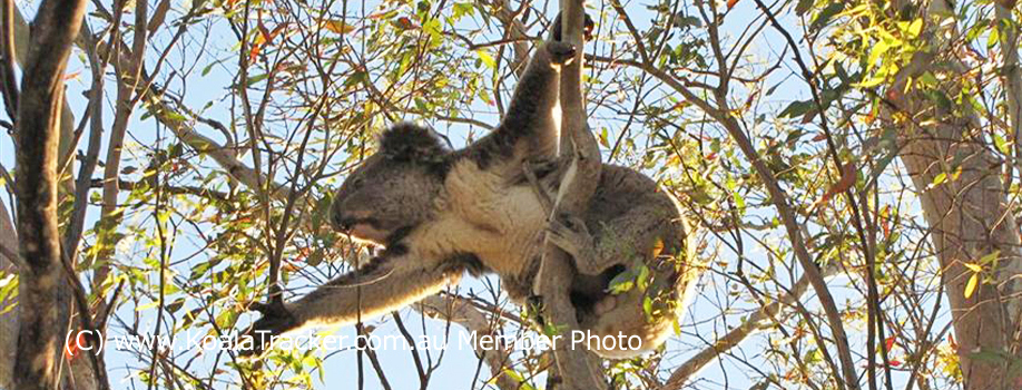 Koalatracker.com.au Australia's national crowdsourced koala mapping project previously known as koaladiaries.com.au